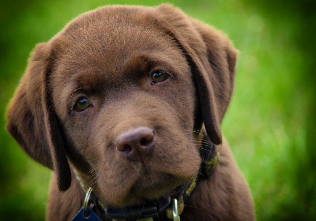 Labrador Ca May Be For Sale Inquire Labrador Dogs